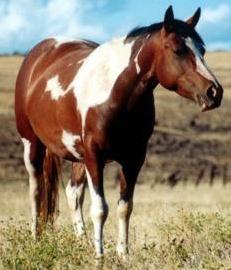 Horse_Stallion
