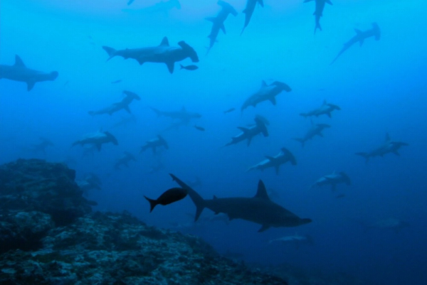 Sharkwater-hammerhead